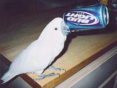cockatoo with beer can