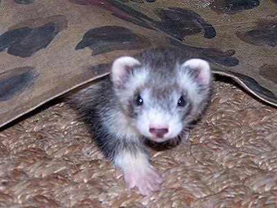 ferret under a rug