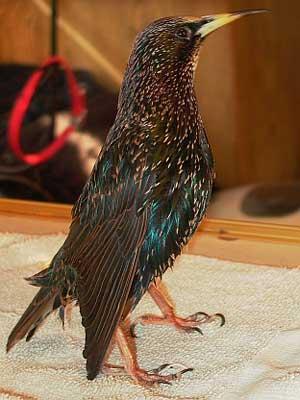rainbow starling