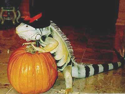 iguana and pumpkin