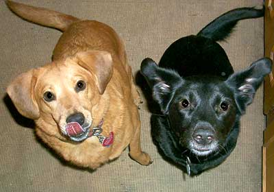 yellow and black retriever mixes