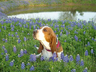 basset hound in field of bluebonnets