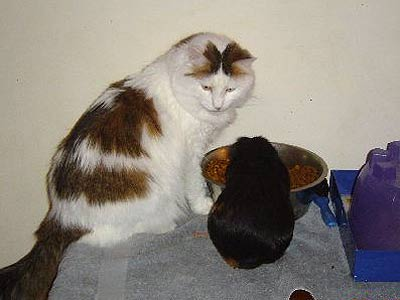 cat and guniea pig eating