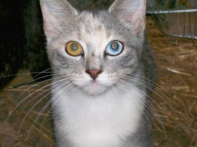 cat with two different colored eyes