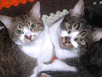 two grey tabby cats