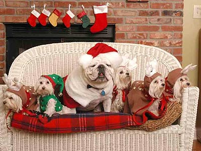 Bulldog and four Maltese in holiday costumes