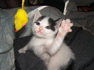 kitten stretching paw