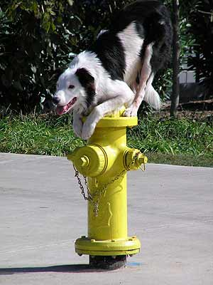 border collie standing on fire hydrant