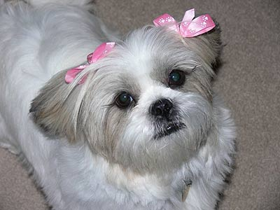 white dog with pink bows on ears