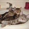 3 kittens in the bathtub sink