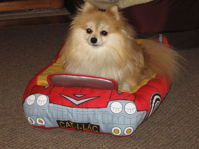 pomeranian in toy car