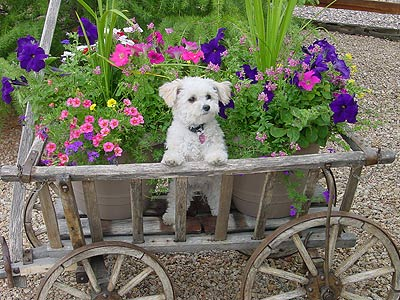 dog in amish cart with flowers
