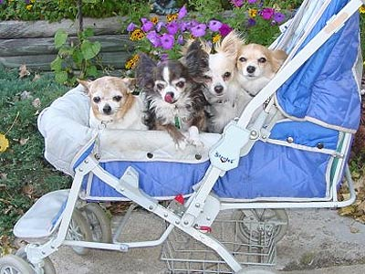 chihuahuas in a baby stroller