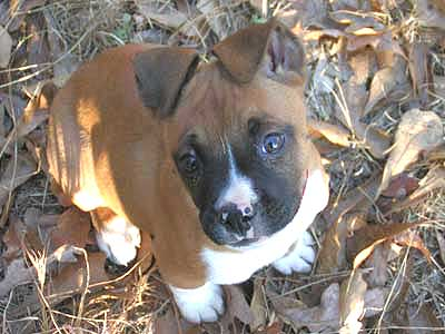 Boxer with cute face