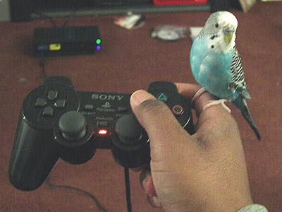 parakeet on a joystick